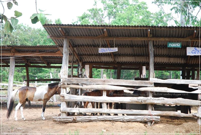 ม้าพื้นเมือง-ม้าแกลบ-อาชาบำบัด-โรคออทิสติก-การขี่ม้า